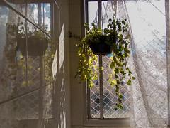 (polianaamaral) Tags: planta galhos verde reflexo sol grade cortina andré santo vidro
