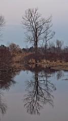 Mirror Reflection (Steve InMichigan) Tags: panasoniclumixdmcgf3 sigma3570mmf2840 fotasymdm43lensadapter tree treereflection creek water beaverpond