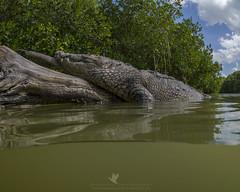 Cocodrilo (santosh_shanmuga) Tags: american crocodile cocodrilo reptile animal herp nature wildlife outdoor outdoors alligator nikon d4 nauticam zen mexico yucatan rio lagartos ria water bask log