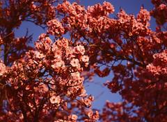 Cherry Blossom (bior) Tags: fujifilmga645zi ga645zi 6x45cm 645 120 mediumformat flowers blossoms tree pinkflowers ektachrome e200 kodakektachrome expiredfilm sanjose california