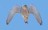 Male Kestrel (Wouter's Wildlife Photography) Tags: kestrel commonkestrel falcotinnunculus bird birdofprey raptor animal nature naturephotography wildlife wildlifephotography billund