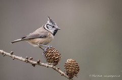 Crested Tit (Paul Smith BPE4* - www.pdsdigital.co.uk) Tags: wildlife nature bird scotland lochgarten abernethyforest springwatch