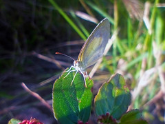 A beautiful intruder in my photo! :3 (Guilherme Alex) Tags: butterfly insect animal life leaves macro focus sunbeam day wings beautiful wonderful unique digitalcamera amateur art natural white brightness forest jungle found exploring