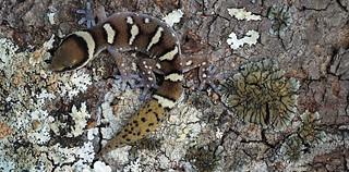 Pachydactylus
