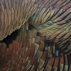 Wild Turkey January 2018 _E1U5482 (www.sabrewingtours.com) Tags: wild turkey michigan brian zwiebel bz sabrewing nature tours snt winter close up feather detail