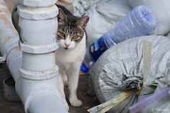 Cat at Mirador Rooftop (tomosang R32m) Tags: hongkong 香港 九龍 miradormansion kowloon tsimshatsui 尖沙咀 美麗都大廈 cat 猫 野良猫 kitty 子猫