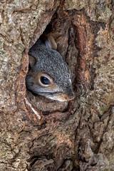 Eastern Grey Squirrel (fascinationwildlife) Tags: animal mammal wild wildlife winter nature natur national refuge eastern grey squirrel hörnchen grauhörnchen den tree hiding parker river nrw massachusetts america usa