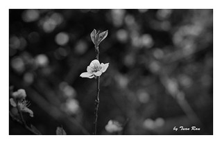SHF_3560_Peach blossom