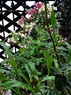Rain on New Plants - Nemesia Flowers, Corn, Peas, Parsely, and Rosebud