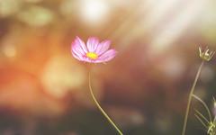Quite Simply...    #7DWF #MondayTheme (KissThePixel) Tags: flower flowers pink pinkflower bokeh sunlight light bokehlicious macro macromonday 7dwf freetheme monday nikon garden cottagegarden dof dofalicious depthoffield creativeart creativephotography 85mm