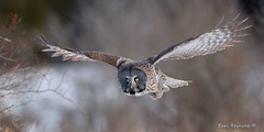 Incoming (Earl Reinink) Tags: owl raptor predator winter field nature bird earl reinink earlreinink dehdeaudza eiudauadha