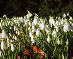 2018_02_0205 (petermit2) Tags: snowdrop snowdrops brodsworthhall brodsworth doncaster southyorkshire yorkshire englishheritage garden gardens heritage heritagegarden