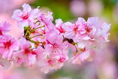 河津櫻 (游萬國) Tags: 河津櫻 國父紀念館 cherryblossoms