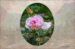 29 ottobre 2017 (adrianaaprati) Tags: pink rose basket petals grass berries stilllife oldroses frame texture buds