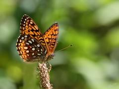 Fritillary (alanj2007) Tags: canon 5dmarkiii 100mmmacrof28lisusm adirondacks butterfly bokeh saranaclake macro upstatenewyork