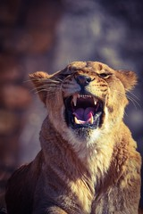 Shot with edit (stephanieswayne1) Tags: endangered grumpy whiskers ears eyes upset snarl growl mouth head face teeth angry zoo columbus cat big animal wild beautiful young female lioness lion african africa