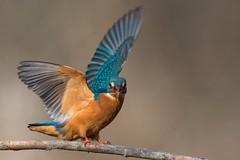Kingfisher / Eisvogel (@Thomas Neuber) Tags: alcedoatthis eisvogel kingfisher bird vogel highres colorful animal wild switzerland avenches