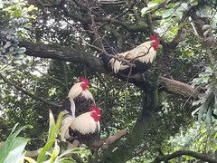 Rainforest roosters, treeborne in the morning (Scot Nelson) Tags: roosters