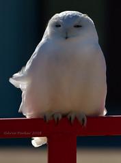 Snowy Owl (Arvo Poolar) Tags: snowyowl raptor bird birdofprey outdoors ontario owl canada arvopoolar perched wildlife winter nature natural naturallight nikond7000 naturephotography
