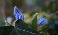 Renaissance - in explore le 05/03/2018 (passionpapillon) Tags: macro boutons feuille bois fleurs flowers plante bleu blu scilleà2feuilles renaissance passionpapillon 2018