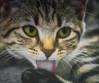 Washing ... (Julie Greg) Tags: kitten cat animal eyes relax canon5dmarkiv
