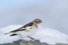 Plectrophenax nivalis (J J McHale) Tags: snowbunting plectrophenaxnivalis cairngorm highlands scotland nature wildlife