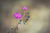 Pata de Guanaco   Parque Nacional Pan de Azúcar (José L.Gutiérrez) Tags: flor flora flower snaspe nature naturaleza photo nikon d7100 200mm desert desierto bokeh