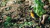 En chasse (jeanmarc.deconinck) Tags: oiseau faune janvier nature soleil hiver rouge gorge jardin