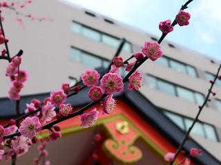 Ume blossoms at Hanazono-jinja