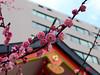 Ume blossoms at Hanazono-jinja (DameBoudicca) Tags: tokyo tokio 東京 japan nippon nihon 日本 japón japon giappone shinjuku 新宿区 hanazonoshrine hanazonojinja 花園神社 jinja shrine schrein sanctuaire helgedom 神社 shinto 神道 umeblossoms ume 梅 うめ flowers blommor blüten flores fleurs fiori 花 はな