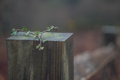 Scaling New Heights (Shastajak) Tags: fence fencefriday ivy climber creeper fencepost rail bokeh gloomyday helios44m4f258mm