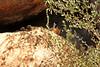 Grooming (craigsanders429) Tags: arizona arizonasonoradesertmuseum tucsonarizona zoo wildcats cats cat