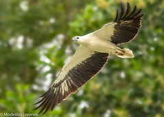 White-belly sea eagle (Modestus Lorence) Tags: bif 150600mm tamron markii 7d canon birds wildlife singapore seaeagle belly white