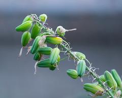 Green (LuckyMeyer) Tags: green plant pflanze samen kapsel botanical garden grün seed capsule