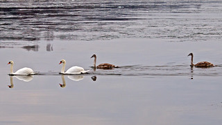 Swans in icy waters in Stockholm