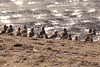 Flock of dunlin / The sea shines exposed by the sunlight (yasushiinanaga) Tags: japan 三番瀬 bird sea sunlight natuer outside canoneos6d sigma150600mm