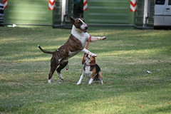 playful (luciabuonomo15) Tags: pet perro park parque beagle beagles bull terrier amigos friendly play juego dogs perros