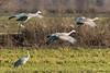 The Glide – 5 of 5 (Roy Prasad) Tags: glide gliding glider crane bird migration migrating sandhill prasad royprasad lodi california travel water nature sony a7rm3