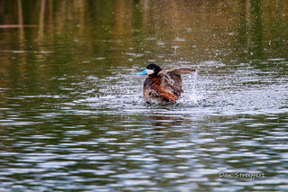 Ruddy  Duck Taking a Bath
