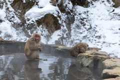 Jigokudani Monkey Park (mikestewartinasia) Tags: eastasia snowmonkey yamanouchi monkey asia primate nature water snow animal outdoor wildlife jigokudanimonkeypark japan nagano japanesemacaque outside