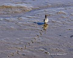 021918 Making Tracks (wildcatlou) Tags: nisquallynationalwildliferefuge latewinter nature wildlife birds water estuary lowtide ducks teal greenwingteal mud reflections tracks