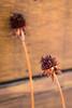 My Backyard | 47/365 (Cassidy Walker) Tags: deadplant plant cy365 365project 365 potd garden backyard 365the2018edition 3652018 day47365 16feb18 brown