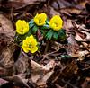 Think Spring (Portraying Life, LLC) Tags: dbg6 da3004 dfa5028macro hd14tc k1 michigan pentax ricoh unitedstates closecrop handheld nativelighting spring garden mulch