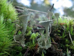 Pixie cup Champagne tower (chaerea) Tags: algae bc canada forest forestfloor fungi lichen mycology nature woodland