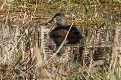 Ring-necked Duck Female (johntubbs) Tags: bird duck divingduck ringneckedduck hen henduck