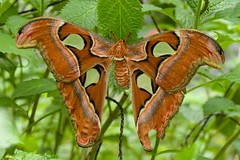 Rusty Butterfly (Ruedi Staehli) Tags: insect nature animal animalwing lepidoptera wildlife leaf closeup macro beautyinnature greencolor plant animalantenna biology invertebrate insects