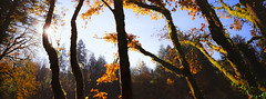 Late October Afternoon (Danielle Bednarczyk) Tags: film kodak ektar hasselblad xpan trees moss leaves fall october