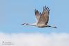 Sandhill Crane (Ray Robles) Tags: sandhill crane bosque apache bird birds birdperfect birding birdphotography birdwatching nikon