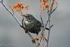 mirlo hembra (barragan1941) Tags: aves cremenes2018 fauna mirlohembra pajaros