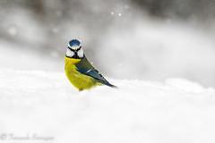 cabreado (barragan1941) Tags: aves carbonerogarrapinos carboneropalustre cremenes2018 fauna nieve pajaros